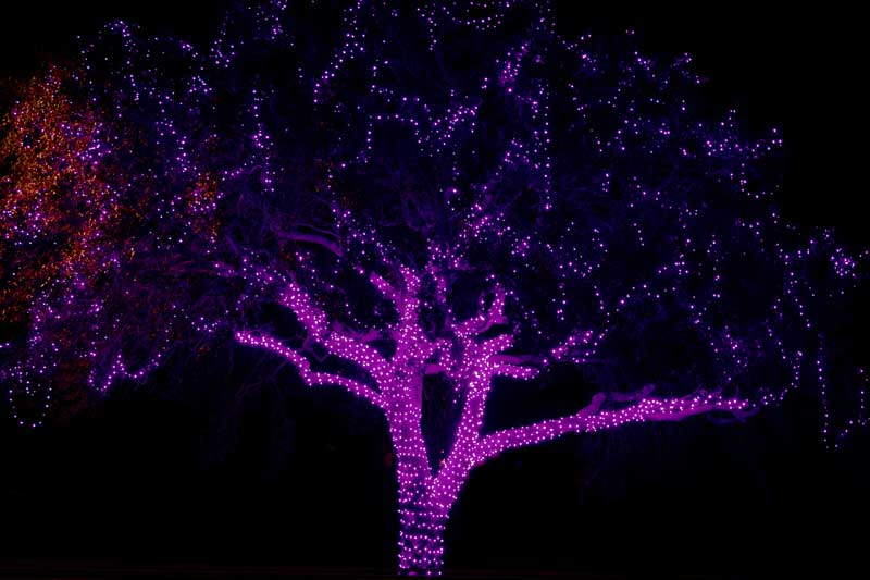 Tree covered with purple christmas lights.