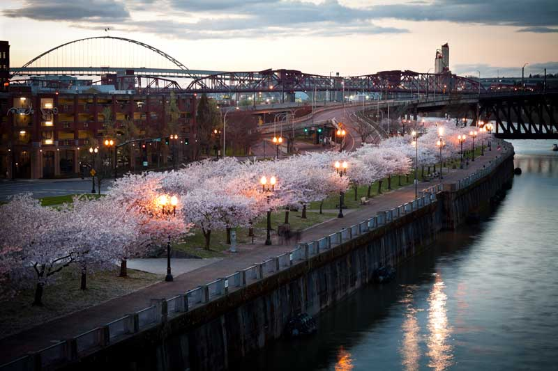 River in portland lined with flowering cherry blossoms.