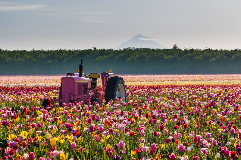 Pink Tractor Surrounded by Tulips